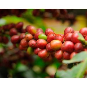 Cafea verde BS - BRAZIL Santos NY 2 sc 17/18 - 250 gr
