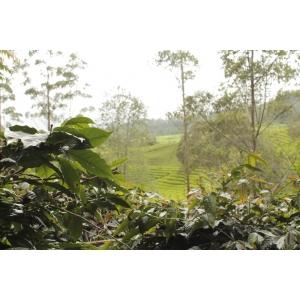Cafea verde BS - INDONESIA Sumatra Kerinci Gunung Tujuh Honey Wet Hulled 250g