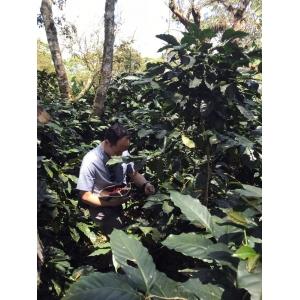 Cafea verde BS - NICARAGUA SHG SCA 83+ Organic 250g